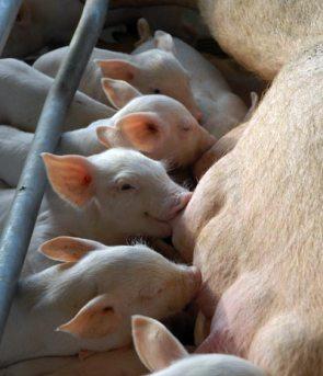 """Cría de cerdos en la granja agropecuaria """"Guaicanamar"""", el 20 de enero de 2011, Mayabeque, Cuba. Foto: Calixto N. Llanes/Juventud Rebelde (CUBA)"""
