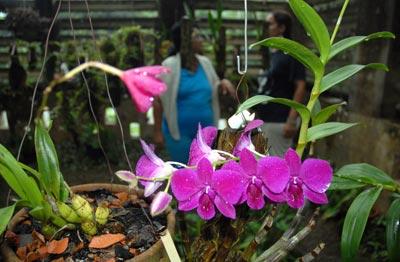 Las orquídeas se cultivan en umbráculos, protegidas del exceso de luz solar y del aire, 11 de Octubre de 2010, Pinar del Río, Cuba. Foto: Calixto N. Llanes/Juventud Rebelde (CUBA)