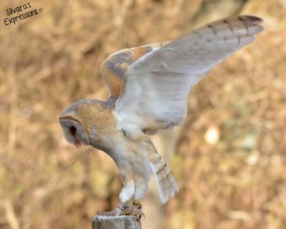 Halton Conservation Birds of Prey 011