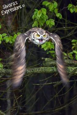 2016-05-14 - Great Horned Owl 004