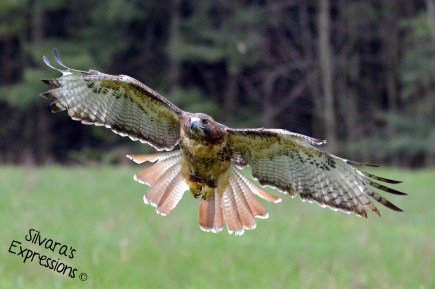 2016-05-14 - Red Tailed Hawkl 003