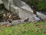 pambula-ducks
