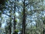 thora-trees2