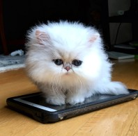 Warning: Toy or Teacup Persian Kittens | SilverDonia Persian Kittens