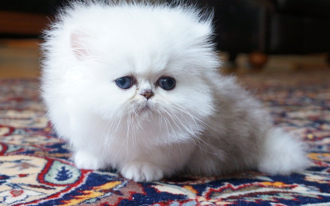 Choosing a Reputable Persian Kitten Breeder
