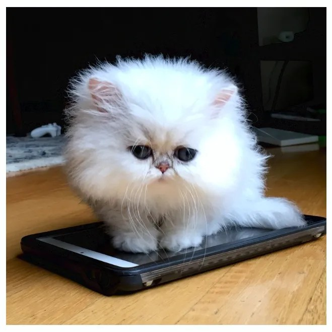 Warning: Toy or Teacup Persian Kittens | SilverDonia Persian Kittens