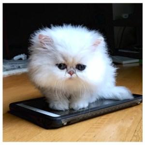 not | teacup persian kitten | teacup kitten | teacup persian cat | Chinchilla Persian Kitten