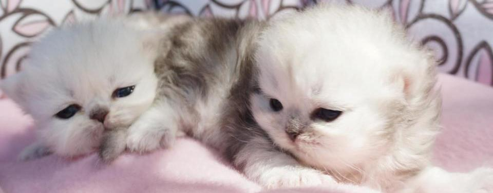 Available Persian Kittens for Sale | SilverDonia Persian Kittens