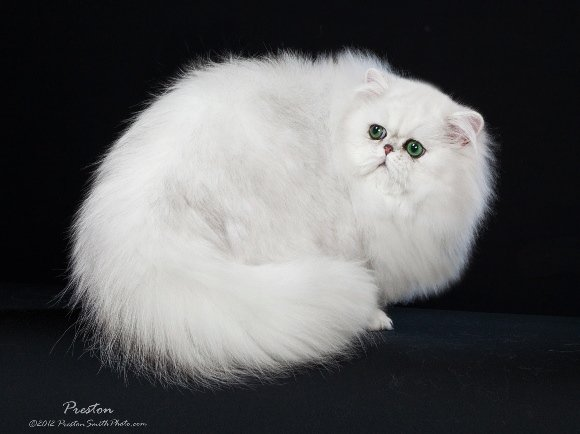 Grand Champion Regional Winner Sultan! chinchilla silver persian cat