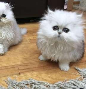 not   teacup persian kitten   teacup kitten   teacup persian cat   Shaded Silver Persian Kitten