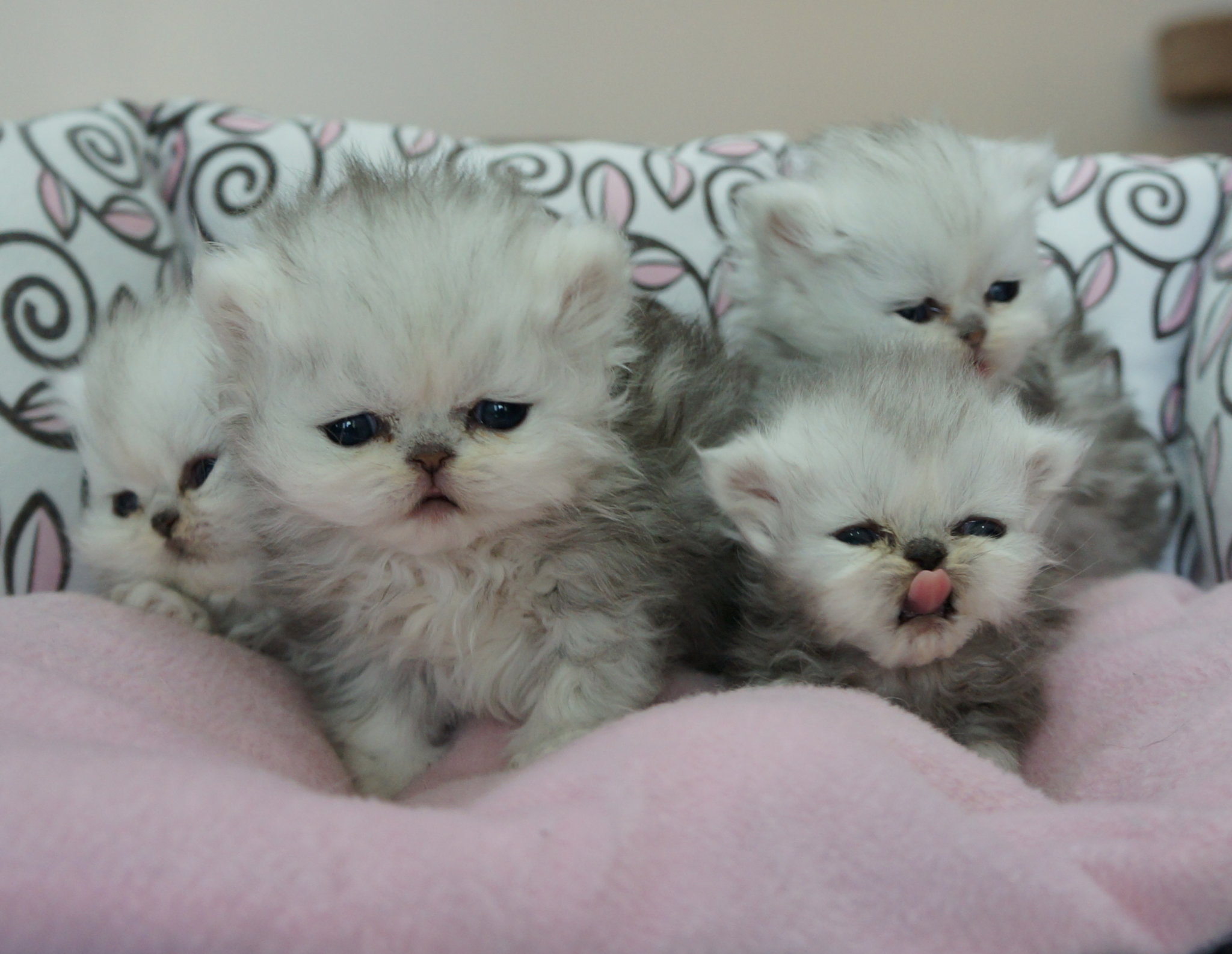Silver Persian Kittens 4 2014 all reserved