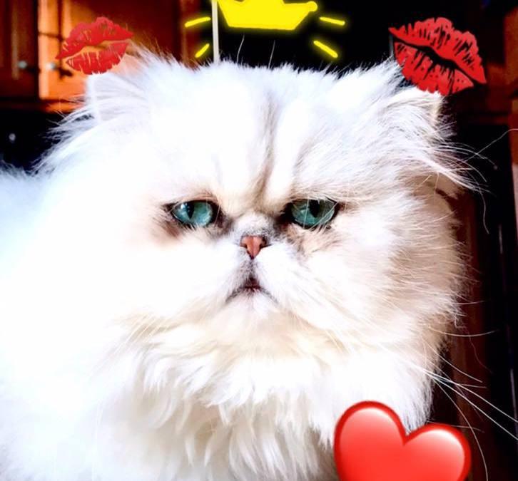 CatsW'Class Niagara of Silverdonia | Shaded silver Persian cat
