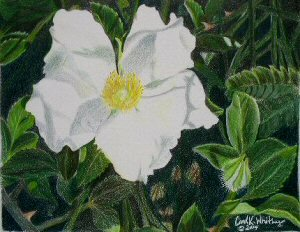 Cherokee rose in colored pencil