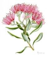 Native Tree - Pohutukawa