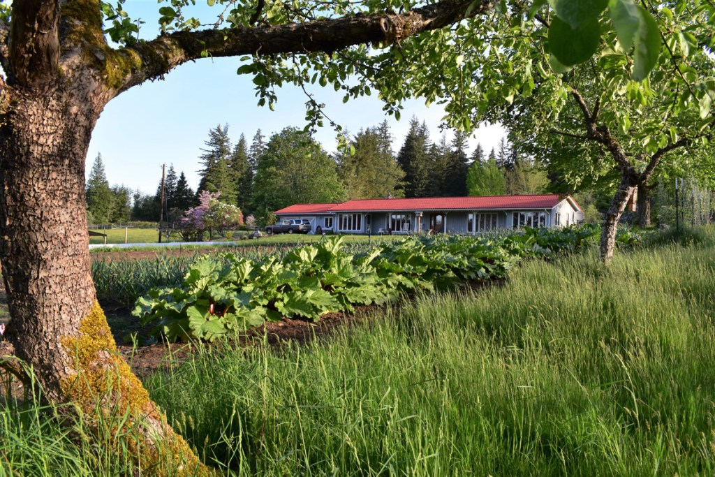 Rhubarb field facing the house