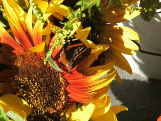 red admiral butterfly on sunflower