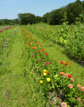 flower rows in summer