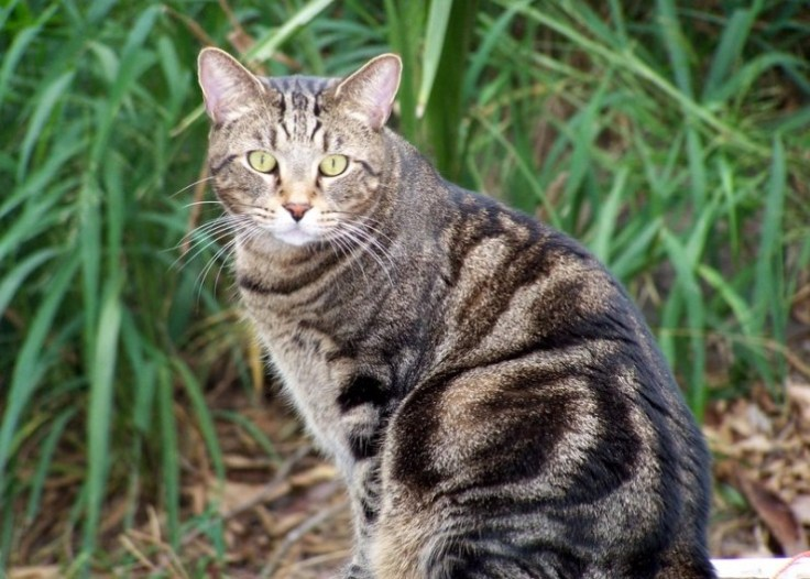Classic Brown Tabby Photo: © http://www.Pawesome Cats