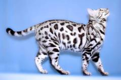 Example Spotted silver tabby Photo: ©http://animal-jam-clans-1.wikia.com