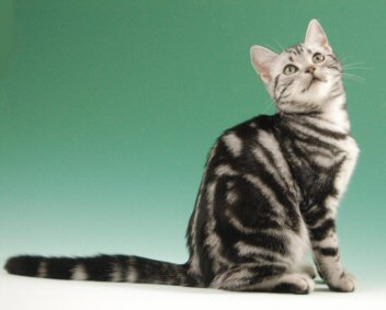OP-Abby-Dec-30-2006-American-Shorthair-silver-tabby-cat-sitting-against-green-background-right-side