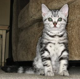 OP-Beaurier-Jun-22-2009-American-Shorthair-silver-tabby-kitten-sitting-by-green-sofa-front-view