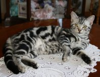 OP-Bella-Feb-7-2014-American-Shorthair-silver-tabby-cat-relaxing-on-lace-doily-on-tabletop