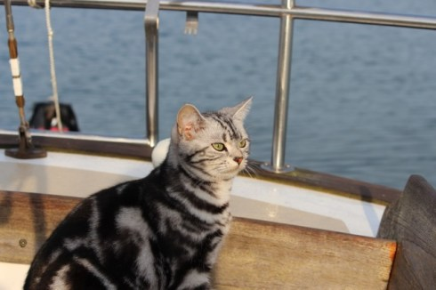 OP-Bella-May-30-2014-American-shorthair-silver-tabby-cat-Bella-on-the-boat