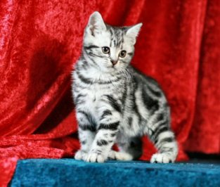 OP-Bumblebee-Dec-2-2011-American-Shorthair-silver-tabby-kitten-Christmas-picture-with-red-backdrop
