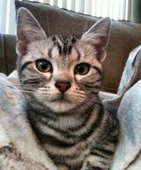 OP-Chairman-Meow-Jul-2-2013-American-Shorthair-silver-tabby-head-shot
