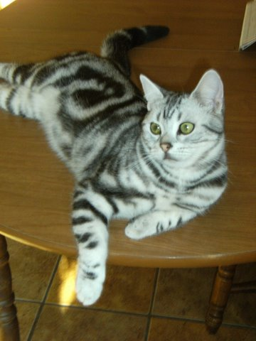 OP-Charlie-Boy-Red-Nov-4-2011-American-Shorthair-silver-tabby-relaxing-on-round-wooden-table