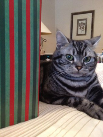 OP-Dakota-FL-Dec-1-2014-American-Shorthair-silver-tabby-resting-on-bed-beside-striped-red-and-green-christmas-package