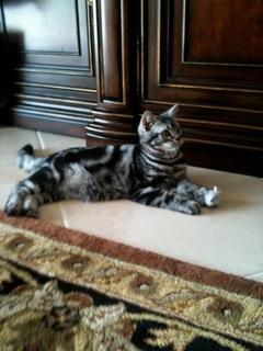 OP-Dakota-FL-Nov-4-2013-American-Shorthair-silver-tabby-kitten-lying-on-tile-floor
