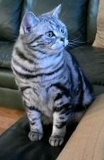 OP-Dakota-NY-American-shorthair-silver-tabby-cat