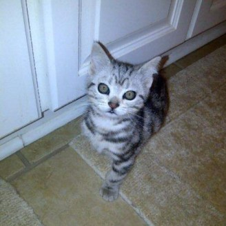 op-duncan-jul-13-2007-american-shorthair-silver-tabby-kitten-sitting-on-tile-floor.jpg
