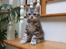 OP-Frisco-American-Shorthair-classic-silver-tabby-kitten-sitting-on-staircase