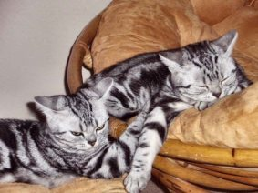 OP-Frostee-Lolly-May-6-2007-two-American-Shorthair-silver-tabby-cats-sleeping-on-gold-papasan-chair