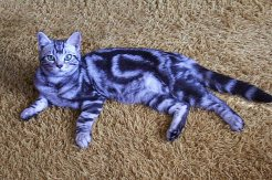 OP-Henry-American-Shorthair-classic-silver-tabby-cat-laying-on-carpet-left-side-and-face-view