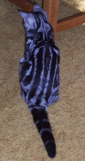 OP-Henry-American-Shorthair-classic-silver-tabby-cat-sitting-on-carpet-back-view-dorsal-stripes