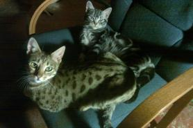 OP-Jack-Gypsy-American-shorthair-silver-tabby-and-spotted-Bengal-share-a-chair