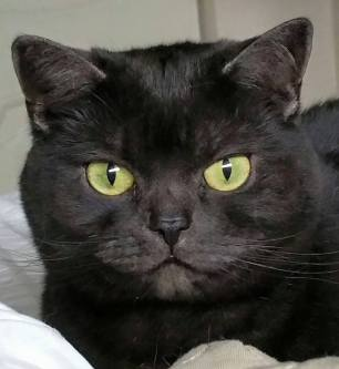 OP-Kona-American-Shorthair-black-smoke-with-round-gold-eyes-head-shot