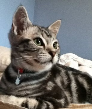 Image of American Shorthair silver tabby kitten with red collar lying on a bed looking to the right