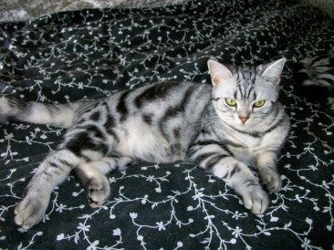 Image of American Shorthair silver tabby cat sprawled out on black flowered bedspread