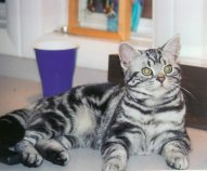 Image of American Shorthair silver tabby cat lying on countertop
