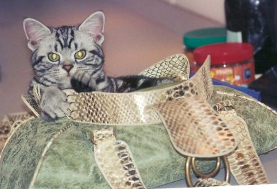 OP-Lula-Oct-7-2010-American-Shorthair-silver-tabby-cat-sitting-inside-large-green-purse