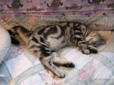 Image of American Shorthair silver tabby sound asleep on bed