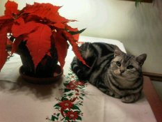 Image of American Shorthair silver tabby cat lying on tabletop beside Christmas poinsettia