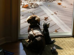 Image of American Shorthair kitten sitting beside dachshund dog looking at fall leaves out the window