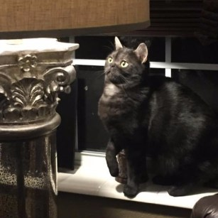 Image of American Shorthair black smoke cat sitting beside lamp