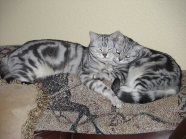OP-Max-Molly-Jul-16-2008-two-American-Shorthair-cats-sleepting-together-on-carpet