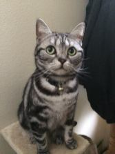 Image of American Shorthair classic Silver tabby with round green eyes